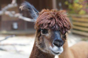 alpaca-984890_640