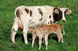 cow-1140344_640
