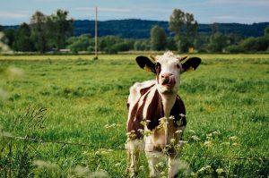 cow-932372_640