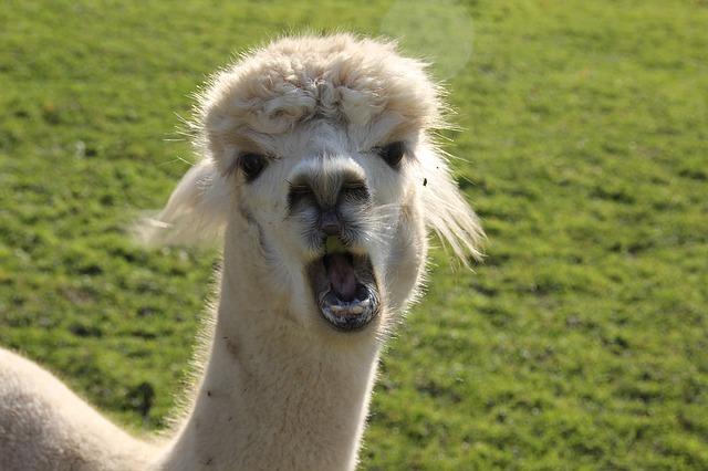 alpaca-1191300_640