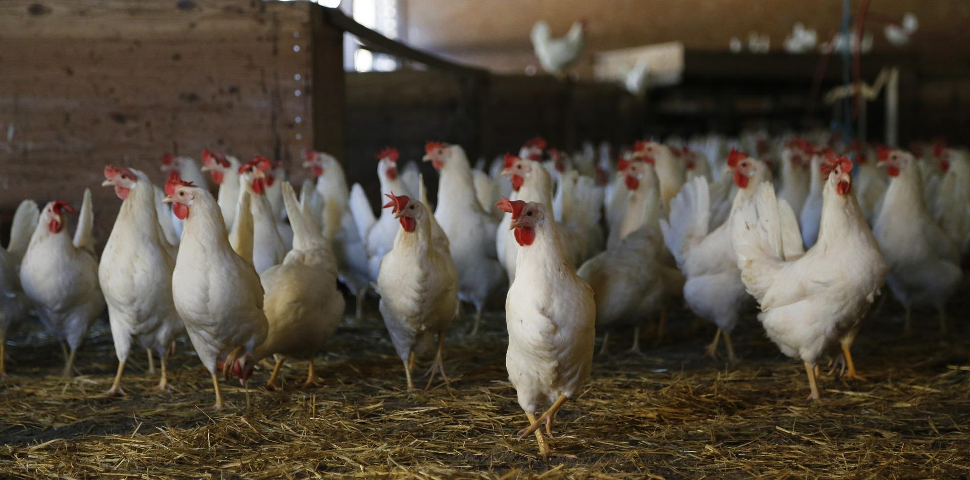chicken-624977_1920