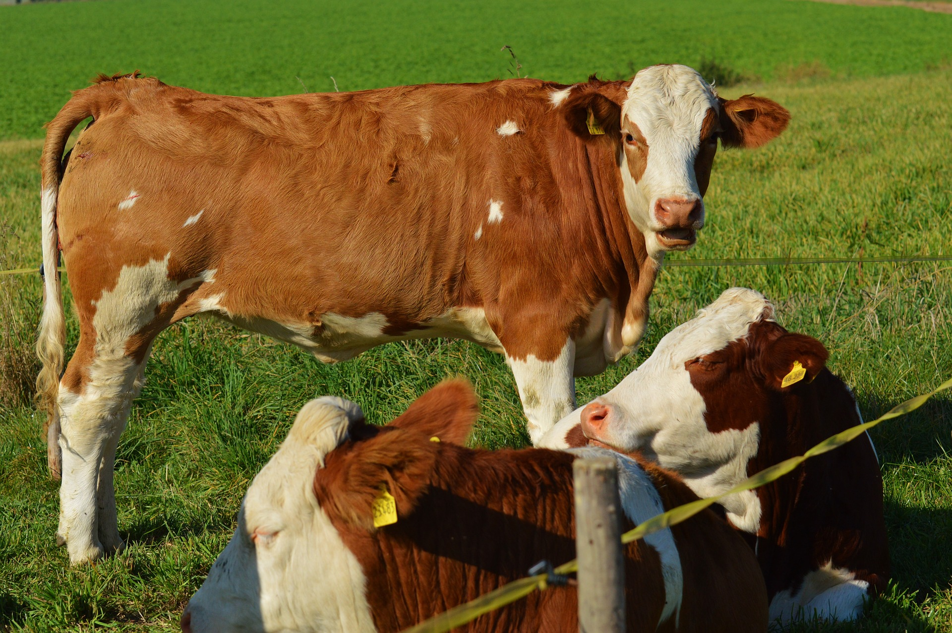 cow-970324_1920